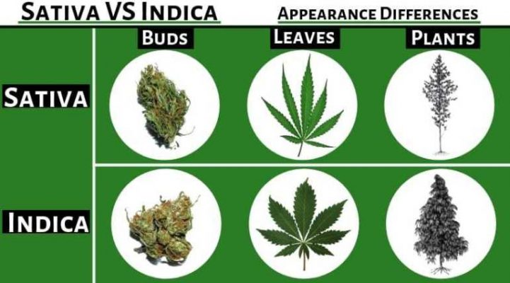 Sativa and Indica Differences